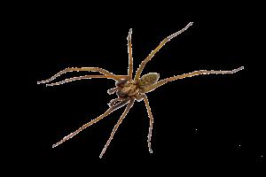 house pest spider