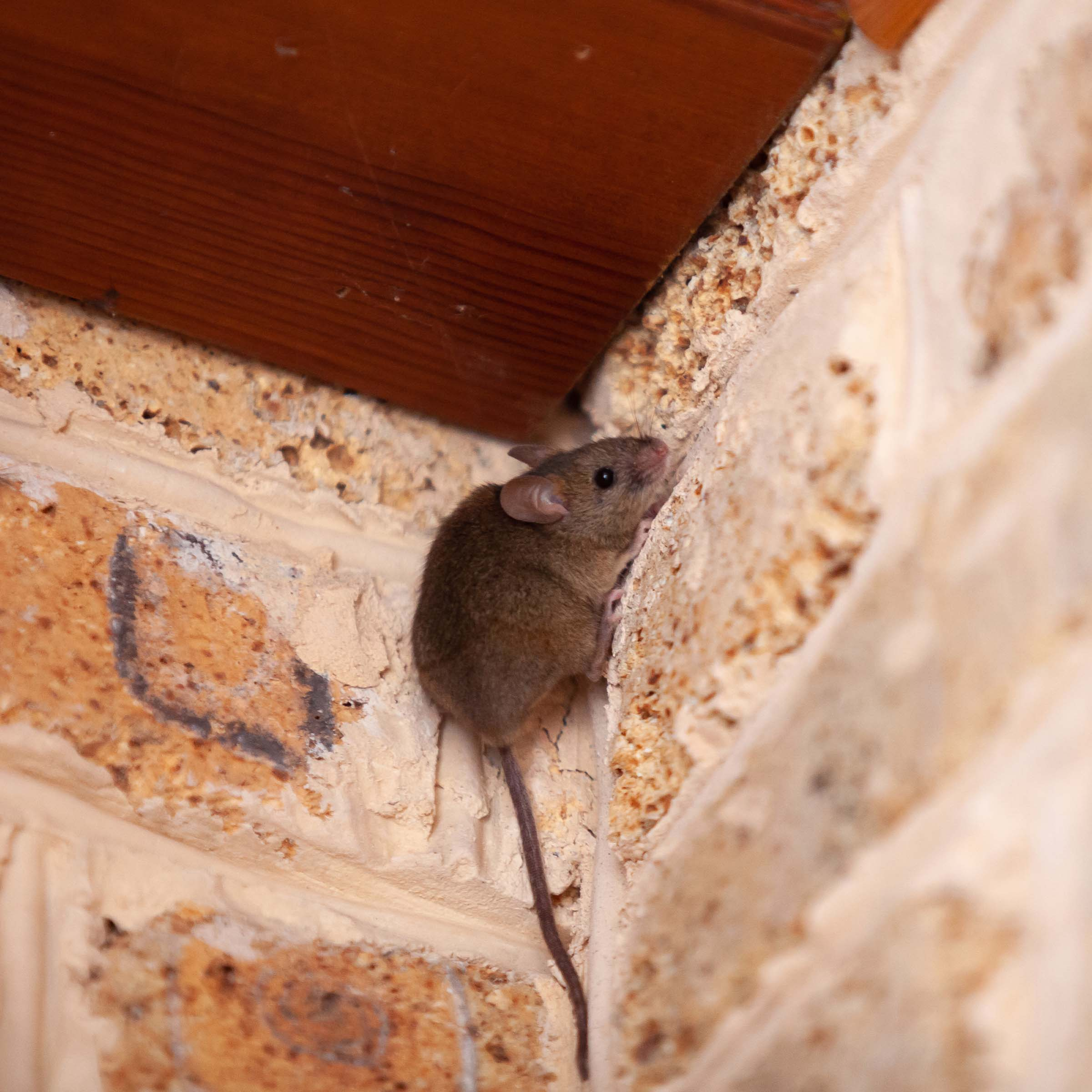 mouse climbing up house