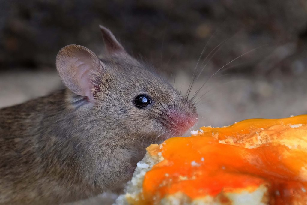 mouse eating food off the ground